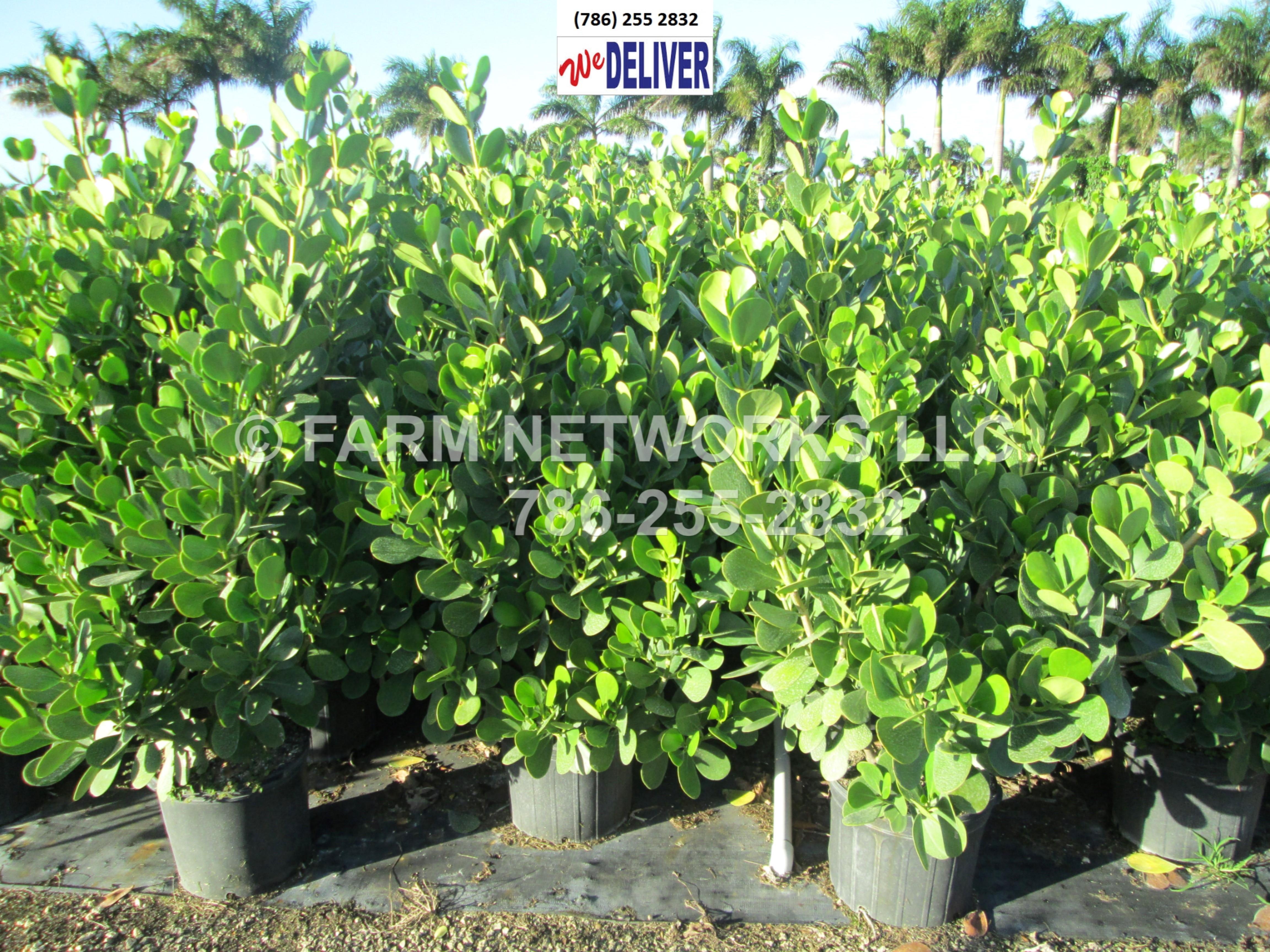 7 Gallon Clusia 25 Gallon Clusia Plants And Podocarpus
